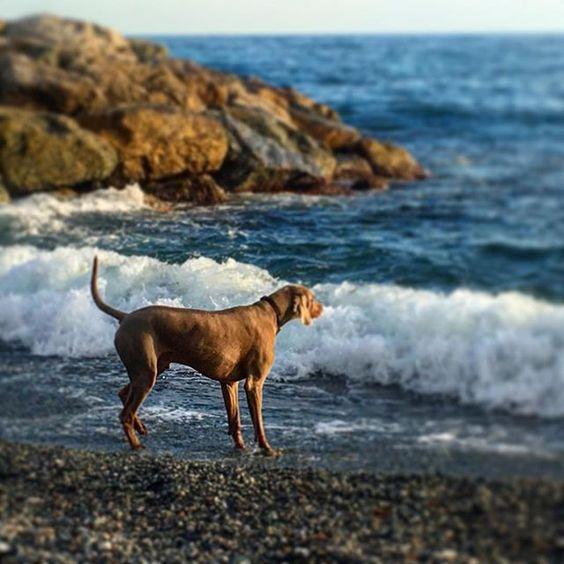 #weimaraner #instaweim #greyghost #dogsofinstgram #dogsofinsta  #dogoftheday #love #liguria #beautiful  #travel #travelgram #instatravel #instapassport #vsco #vscocam #vscogrid #boy #girl #sport #fitness #instagood #sunset #instagood #instacool #sunset #dog #puppy @instaweiminstagood #love #sport #instaweim #greyghost #travelgram #vsco #beautiful #vscocam #dog #liguria #fitness #sunset #instacool #vscogrid #travel #instatravel #dogoftheday #instapassport #dogsofinsta #boy #puppy…