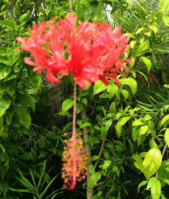 "HIBISCUS+-+JAPANESE+LANTERN+-++RED+-+VERY+RARE+-+1+PLANT+-+4""+POT++#OUROWN"