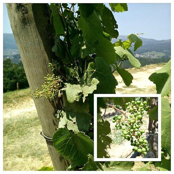 Depois da floração vejam como os nossos cachos crescem!!! After blooming see how fast our bunches of grapes are growing!!!