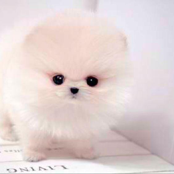 White pomeranian, Pomeranians and Pomeranian puppy on ...