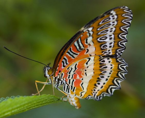 Lacewing Butterfly  by Darren's, via Flickr