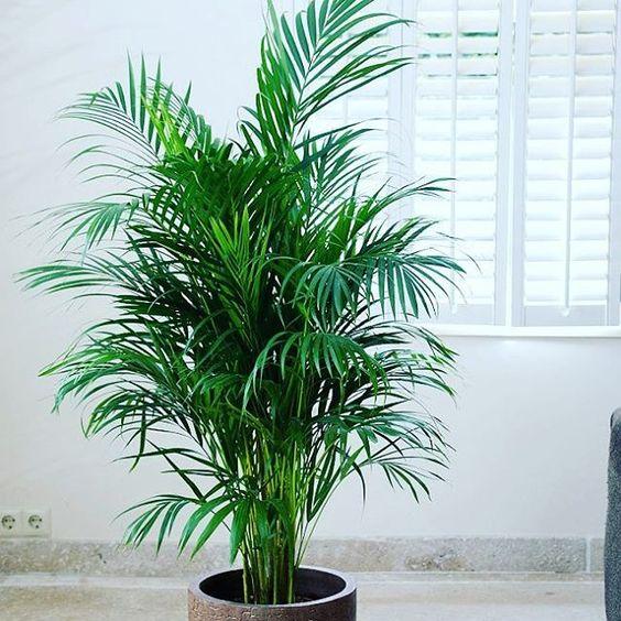 Plantas que te ayudarán a dormir mejor #Palmera #Areca Esta planta #purifica el #aire de toxinas y dióxido de carbono. También humidifica el aire, por lo cual esta planta es aún más útil en la temporada seca del año.