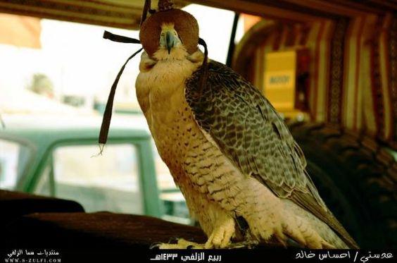 عدستي لصقر بأحد المهرجانات Owl Bird