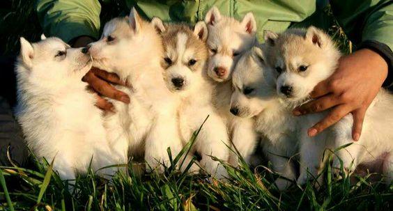 Siberian husky baby