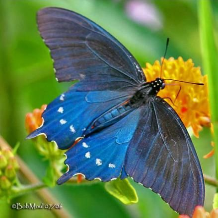 Pipevine Swallowtail (Battus philenor) - Photo @Bob Moul 07/06