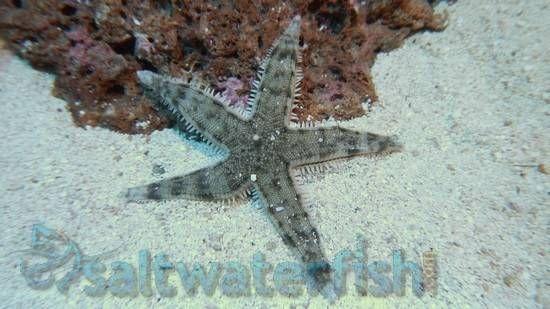 Sand Sifting Starfish Invertebrates Starfish Saltwater Tank Salt Water Fish Sand And Gravel