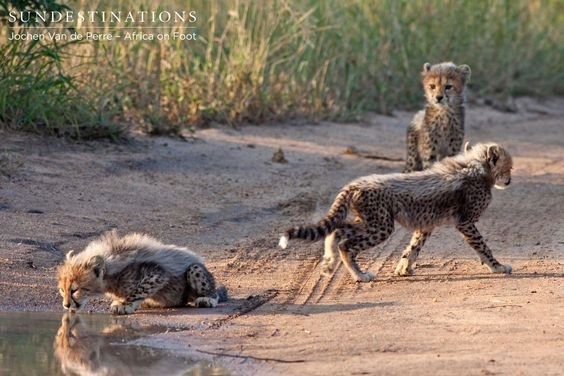 Cheetah cubs discovered while out on a game drive in the Klaserie.   For more cheetah pics, visit us on: https://www.facebook.com/africaonfoot  #cheetah #safari #africaonfoot #kruger #southafrica #gamedrive