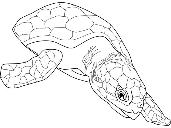 tortue-caouanne.gif (720×540)