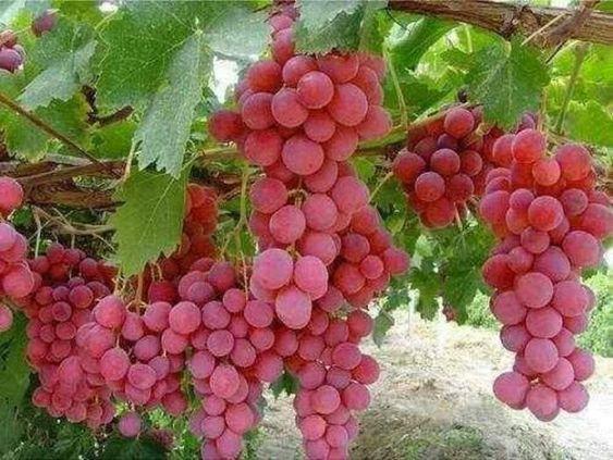 فوائد العنب الأحمر Fruit Grapes Red Grapes