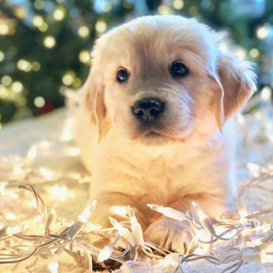 One Good Thing Dogs Golden Retriever Fluffy Puppies Dog Lovers