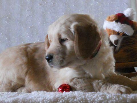 Litter Of 6 Golden Retriever Puppies For Sale In Holmesville Oh Adn 61493 On Puppyfinder Com Gender Puppies For Sale Golden Retriever Golden Retriever Puppy