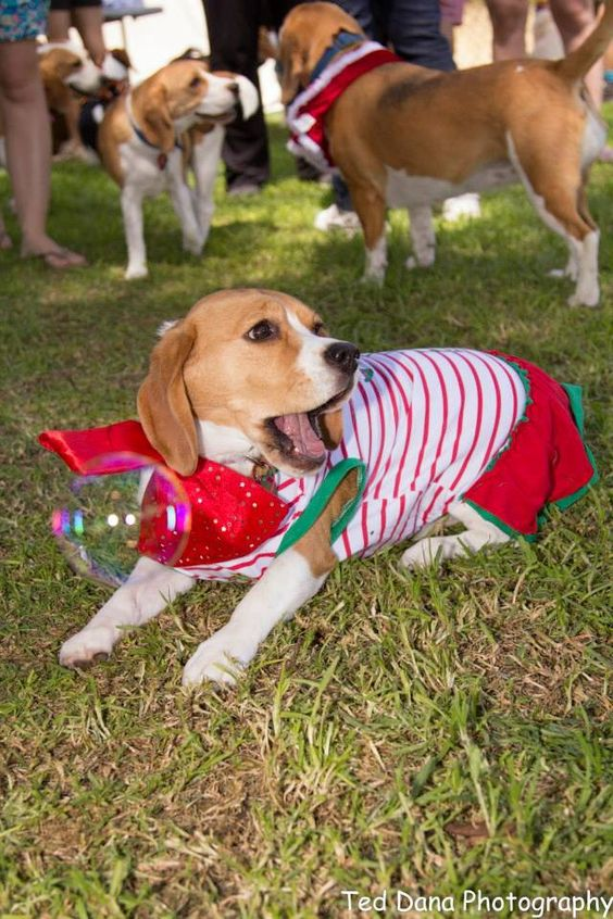 Beagle Christmas party 2013