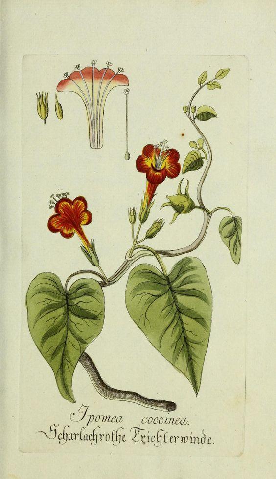 Jarhg.2 (1779) - Plantarum indigenarum et exoticarum icones ad vivum coloratae, oder, Sammlung nach der Natur gemalter Abbildungen inn- und ausländlischer Pflanzen, für Liebhaber und Beflissene der Botanik / - Biodiversity Heritage Library