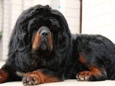 Tibetan Mastiffs Tibetan Mastiff Lion Head For Sale Adoption In Malaysia Adpost Com Tibetan Mastiff Mastiff Puppies Giant Dog Breeds