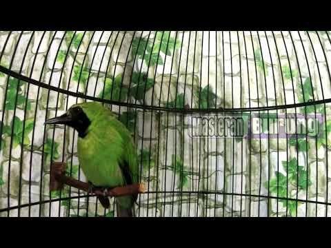 Terapi Cucak Ijo Gacor Bila Mendengar Suara Air Kran Mengalir Deras Ribut Burung Pancing