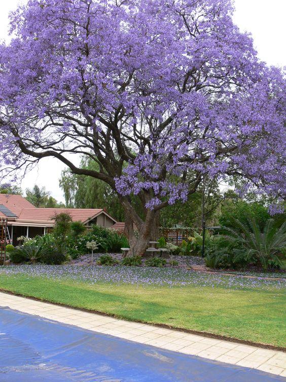 Jacaranda tree grows well in central texas per a m for Purple flower shrub california