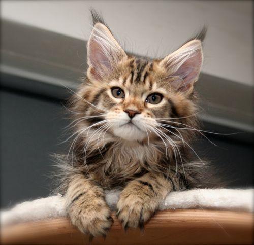 Maine Coon Kitten | Cattery Senoja's | The Netherlands | www.kittentekoop.nl - Spoil your kitty at www.coolcattreehouse.com