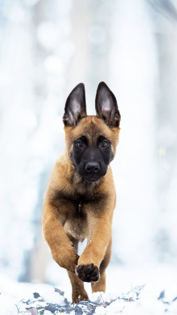 1080x1920 Perro Belgian Malinois Correr Cachorro Pastor Animalia