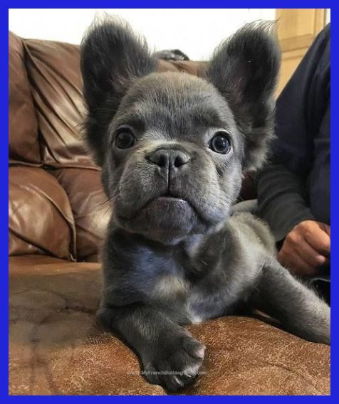 Sweet Blue French Bulldog Young Puppy Felipe Frenchie Cute