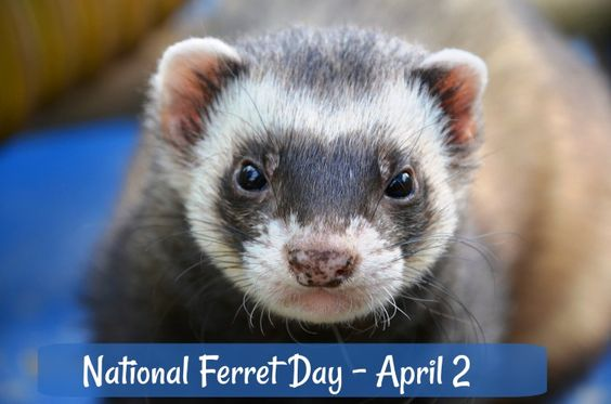 National Ferret Day Is Celebrated Each Year On April 2 Unusual Animals Ferret Animals