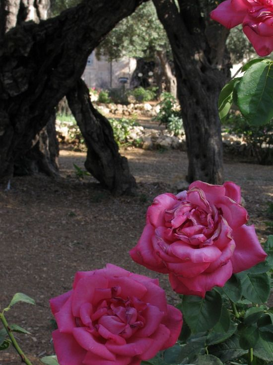 Garden Of Gethsemane Jesus Wept By Travelpod Blogger Pinkfloyri From The Entry Holy Land Holy Wars On Thursday June 17 2010 In Je Rozen Israel Kleuren