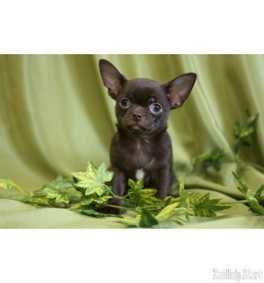 Chihuahua Puppies For Sale In N Chihuahua Puppies For Sale In Nc