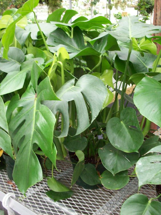Split Leaf Philodendron Getting Too Big Prune It Back And