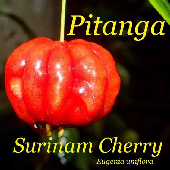 ~SURINAM CHERRY~ FRUIT TREE Eugenia uniflora Mature Older LG Potd 3-4ft+ Plant -- Awesome products selected by Anna Churchill