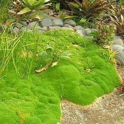 Pour une exposition Plein soleil : Scleranthus uniflorus Scleranthus uniflorus est une mousse tapissante et persistante qui forme un superbe coussin vert tendre : très facile de culture, vous pourrez utiliser le Scleranthus dans un jardin au style japonais,...