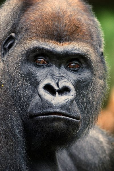 Western Lowland Gorilla by Art-Photo.