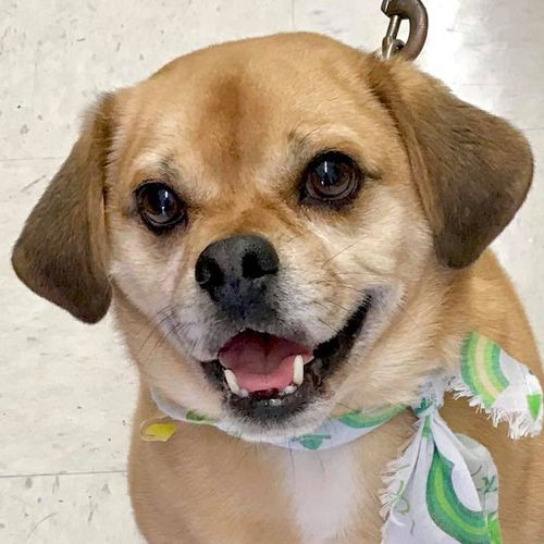 Puggle Dog For Adoption In Fairfax Va Adn 655091 On Puppyfinder