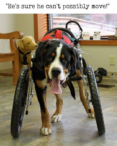 Tripawd Dog Wheelchair Training Tips For Front Leg Amputees Dog