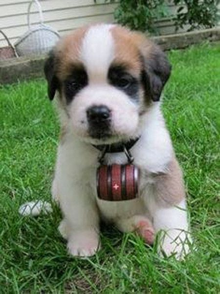 This pup who's ready to get to work! | Community Post: 15 Saint Bernard Puppies Who Are Just Too Adorable For Words