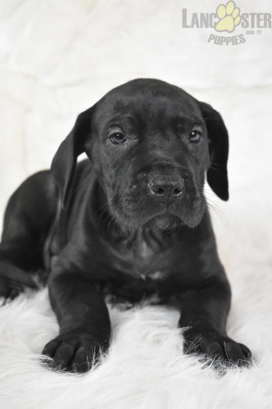 Reno Great Dane Puppy For Sale In Millersburg Oh Lancaster