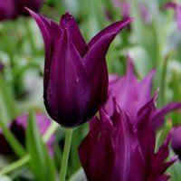 Tulpen Burgundy