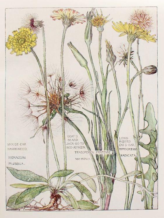 illustration botanique UK : 1910, H. Isabel Adams, pissenlits, fleurs