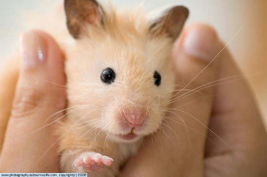 All About Syrian Teddy Bear Hamster Hamsters As Pets Bear Hamster Syrian Hamster