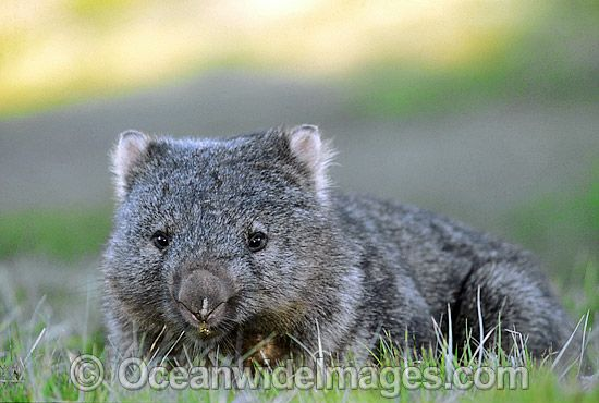 Common Wombat (Vombatus ursinus). Cradle Mountain, Tasmania, Australia Photo Copyright: © OceanwideImages.com