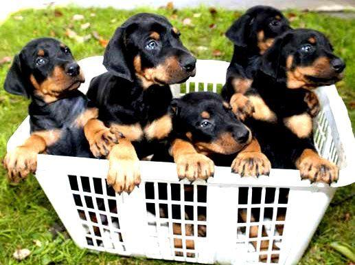 Doberman Puppies For Sale Www Sierradobiefarms Com