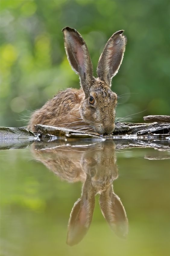 Hare drinking they are such amazing creatures and beautiful