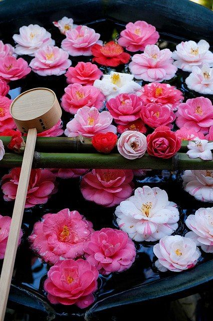Camelie, flowers, Japan, pink