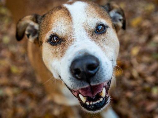 Austin Tx German Shepherd Dog Meet Boomie A Pet For Adoption In 2020 Kitten Adoption German Shepherd Dogs Animals