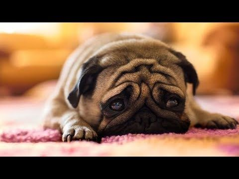 Funniest And Cutest Pug Dog Video Compilation 9 The Cutest Pug