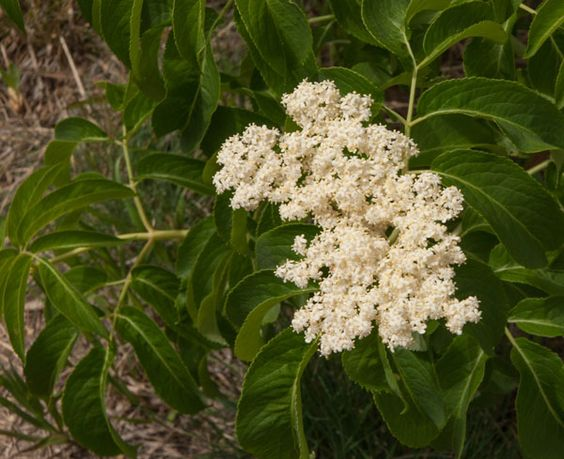 cluster of tiny white flowers on branch Sambucus cerulea