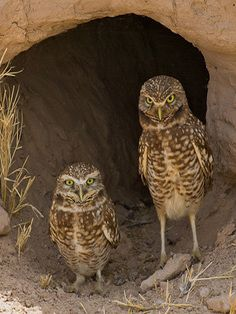 Burring Owls In Negev Desert, Israel