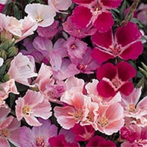 Monarch Godetia Flower Seeds Grandiflora Pink Shades Annual 100 Flower Seeds Shade Annuals Flowers