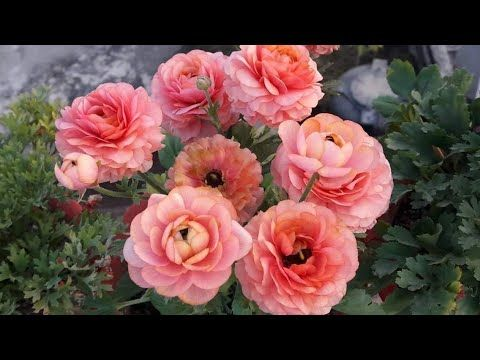 How To Save Ranunculus Plant For Next Season Easy Way To Save Ranunculus Plant For Next Season Youtube Plants Ranunculus Ranunculus Asiaticus