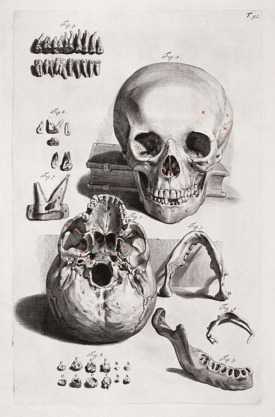 Anatomical drawing (engraving) of a skull with jaw and teeth details.