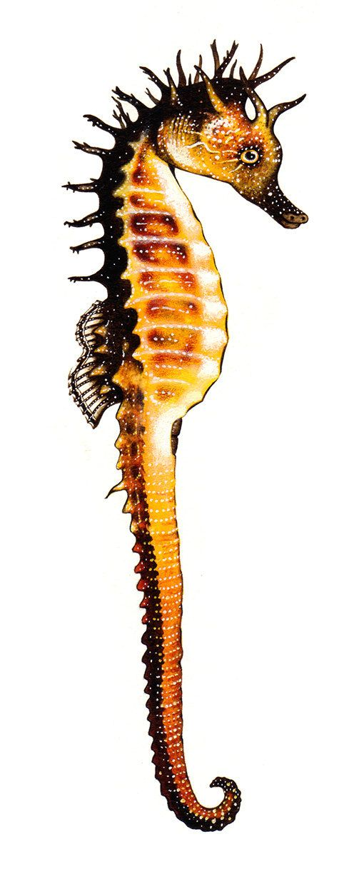 Caballito de mar moteado Hippocampus guttulatus por BernatMuntesArt