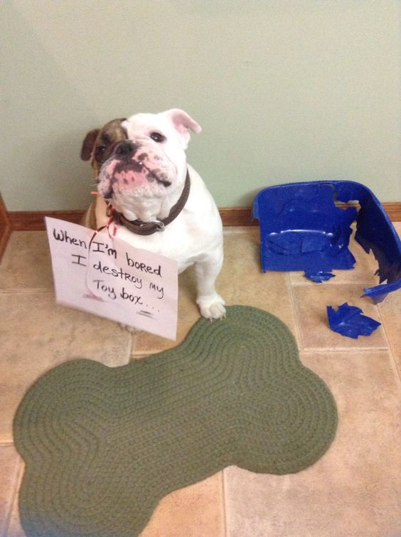 Destroys every toy box we give him and he is my English bulldog Jarvis